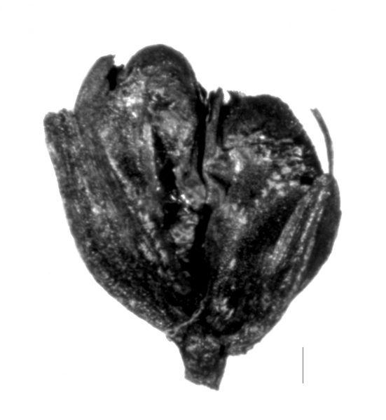 Archäobotanisches Emmer-Ährchen - Copyright: Teilprojekt A05
