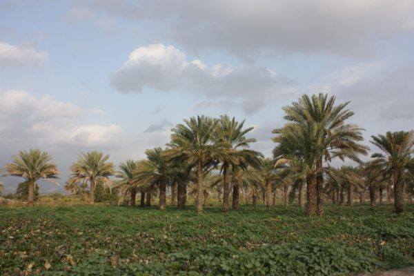 Dattelpalmenplantage in der Provinz Kerman - Copyright: Peter Pfälzner